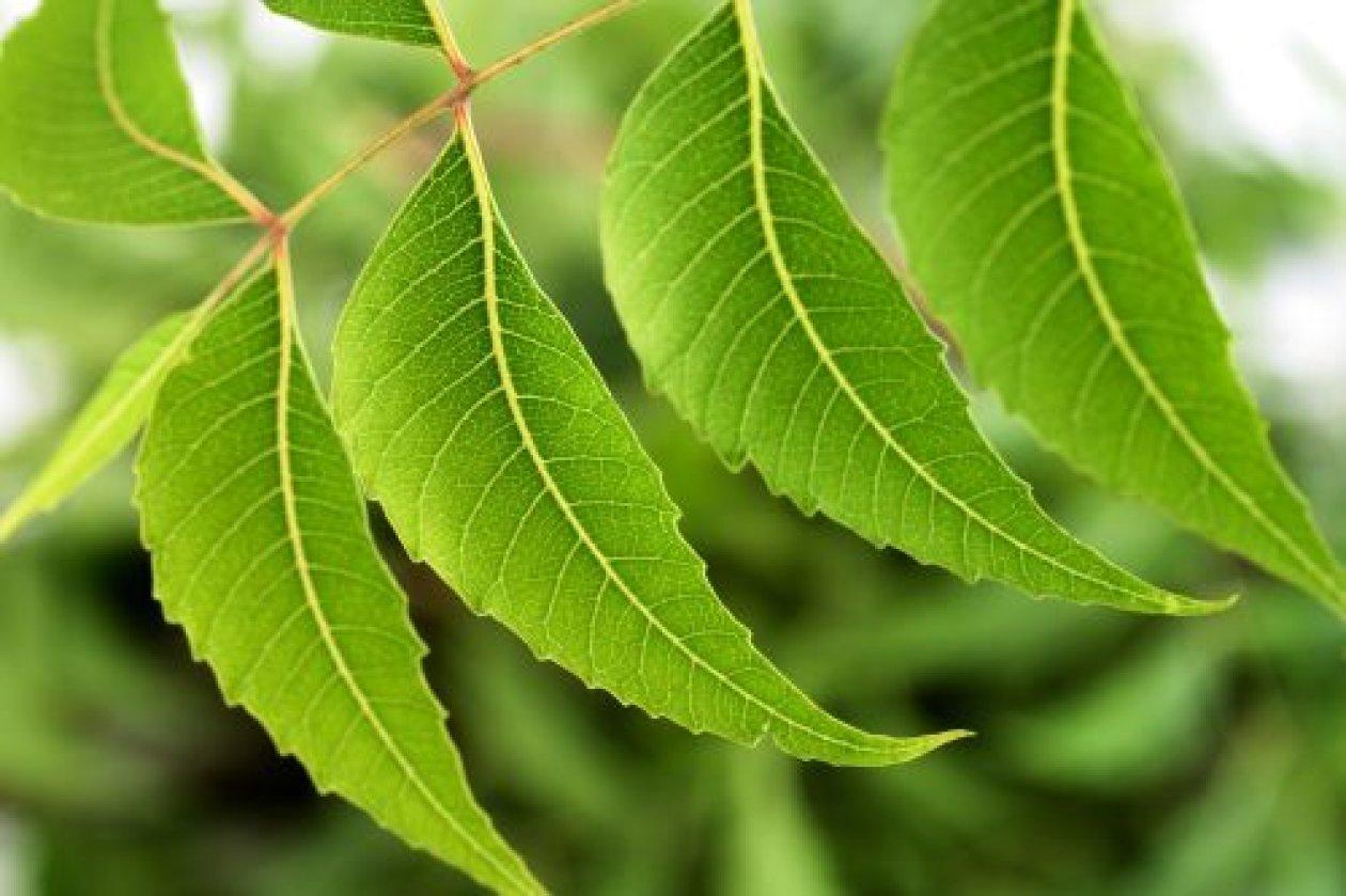 Sva lica biljke neem