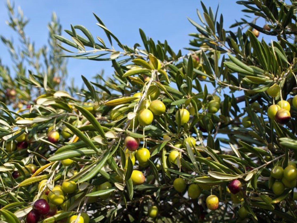 Brižnim gospodarenjem do vrhunskih maslinovih ulja