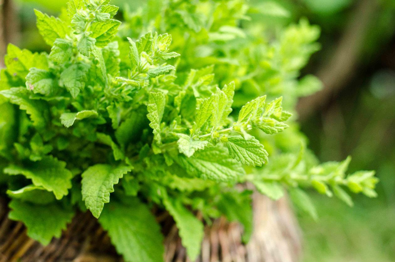 Melisa - samo domaća i samo iz organskog uzgoja
