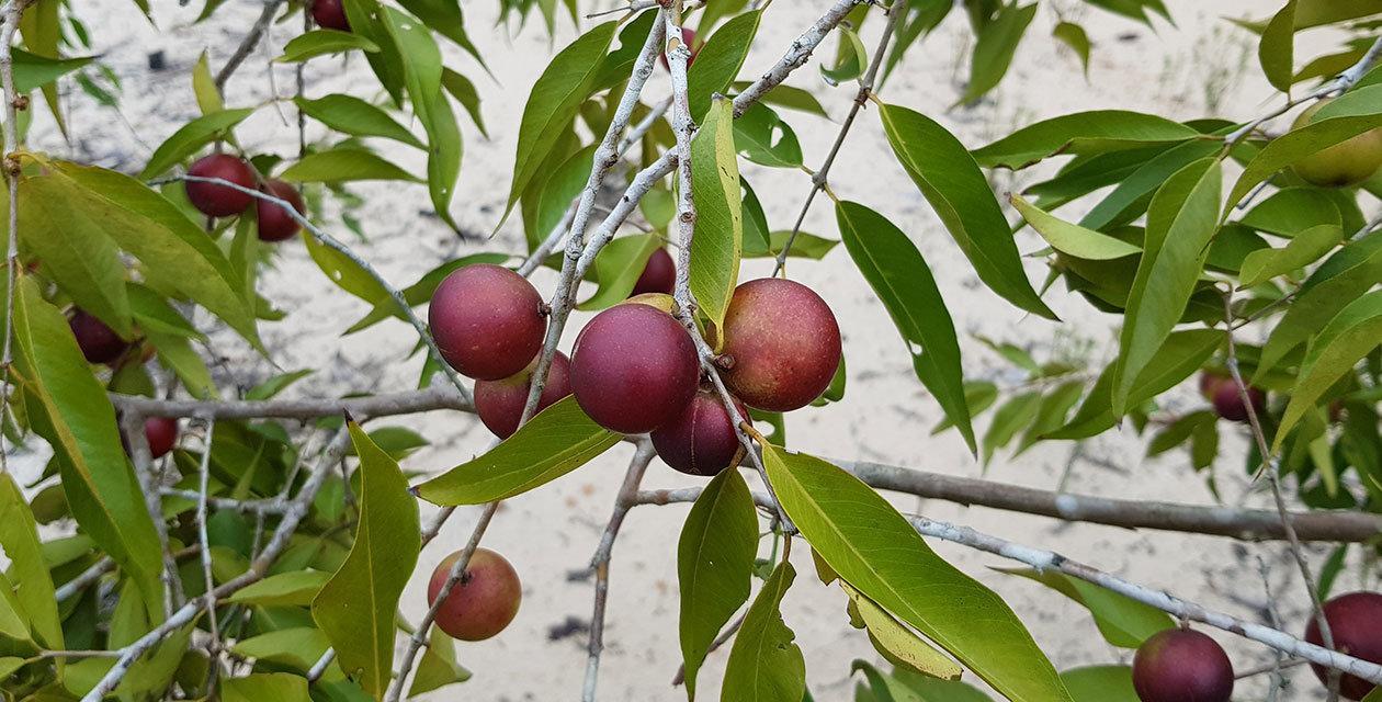 Camu Camu – najbolji prirodni izvor vitamina C